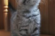 Silver_tabby_Scottish_Fold_Kitten