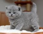35444_marvelous_british_short_hair_kittens__photo_1_img