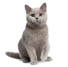Britse korthaar kittens kopen