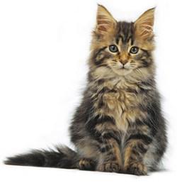 Maine coon kitten kopen