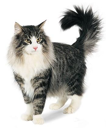 Welp Noorse boskat kittens kopen - Bekijk de advertenties op de site TH-97