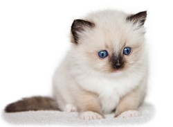 Ragdoll kittens kopen
