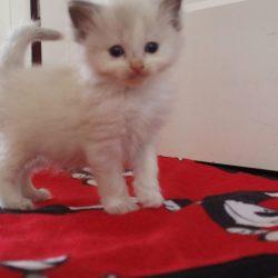 Kitten 5 zwart 5,5wk-1