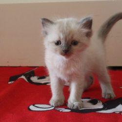 Kitten 1 groen 5,5wk-2