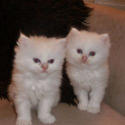 gorgeous-persian-kittens-565c9866c423a