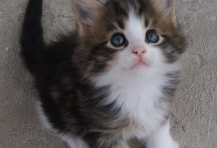 maine-coon-kittens.