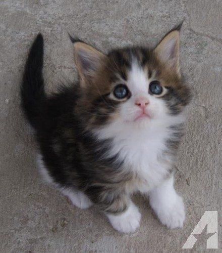Beste Beschikbare Maine Coon-kittens | Kittens-tekoop.nl EP-59