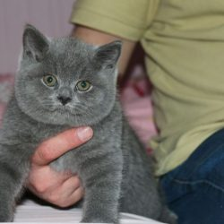 pure-british-shorthair-kittens-56d1ca2fccf3b