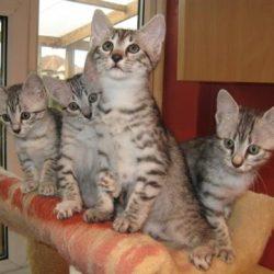 Egyptian Mau kittens2