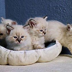sinerian kitten