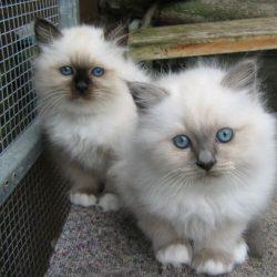 Two-Cute-Birman-Kittens