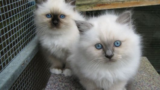 Two-Cute-Birman-Kittens