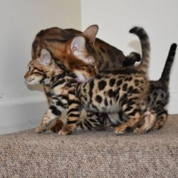 top-quality-bengal-kittens-tica-registered-5c63280b424d712