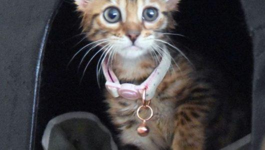 pure-pedigreed-bengal-reg-girl-kitten-ready-now-5cc2ed1e7040e