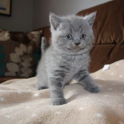 blue-british-shorthair-kittens-for-sale-5d77834de70bc