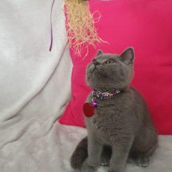 british-shorthair-blue-male-kitten-5d4559d92daf6