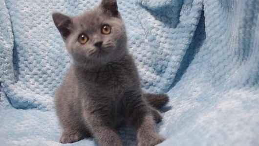 british-shorthair-kittens-for-sale-male-5d32bacab2b66