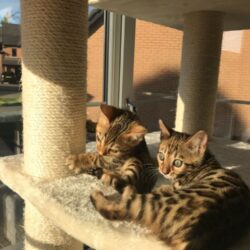 bengal-black-brown-spotted-kittens-5de3c578b254a